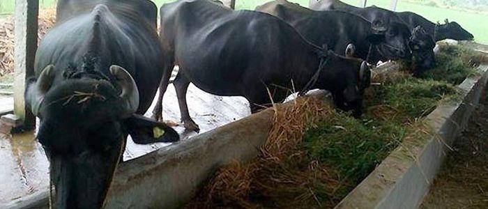 भैँसी पालेर नामसँगै दाम कमाउँदै जुम्लाका व्यावसायिक भैँसीपालक किसान धिताल