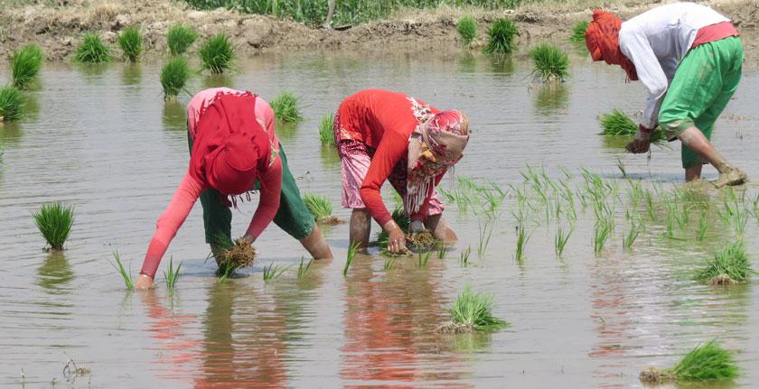 निषेधाज्ञामा जोखिम मोलेर धान रोप्दै किसान